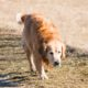 adult golden retriever walking on ground near outdoor during daytime