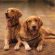 two adult golden retrievers