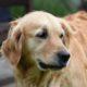 adult brown Labrador retriever